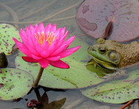 Frog with Waterlily #3