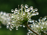 Clematis seedhead in the rain